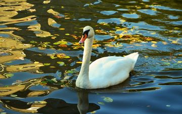 water, lake, nature, leaves, autumn, bird, swan, sunlight