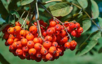 природа, листья, ягоды, растение, рябина