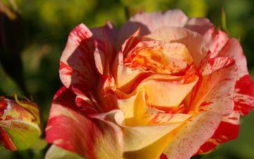 цветок, лето, роза, лепестки, сад