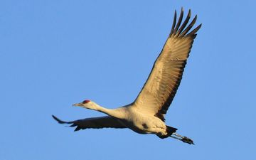 the sky, nature, flight, wings, bird, crane