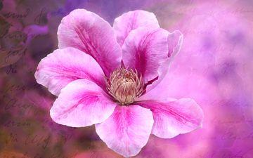 цветение, цветок, розовый, клематис