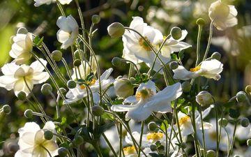 flowers, nature, flowering, buds, white, anemones, anemone