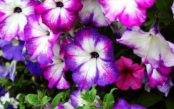 flowers, flowering, plant, petunia