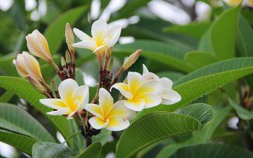 flowers, leaves, plant, plumeria, frangipani