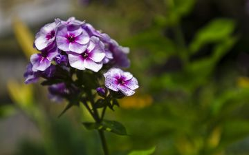 flowering, flower, petals, purple, phlox