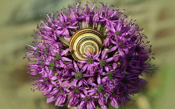 природа, цветение, макро, цветок, фиолетовый, весна, улитка, декоративный лук