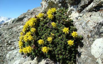 цветы, горы, природа, цветение, камни, растение, желтые