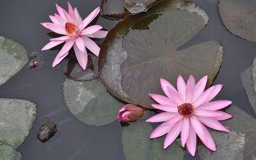 цветение, отражение, цветок, пруд, вьетнам, водяная лилия