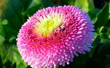 природа, цветение, цветок, розовый, маргаритка