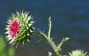 nature, flowering, flower, barb, plant, stem, thistle