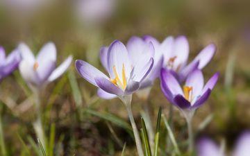flowers, nature, spring, purple, crocuses