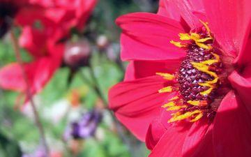 природа, цветение, растения, цветок, лепестки, гербера