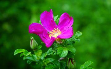 цветение, цветок, роза, шиповник, розовый, яркий, дикая роза