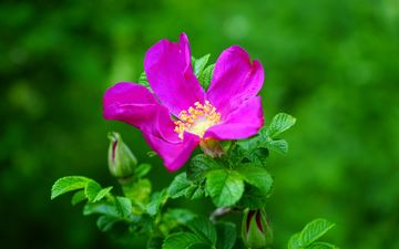 flowering, flower, rose, briar, pink, bright, wild rose