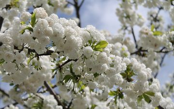 небо, природа, дерево, цветение, ветки, весна, вишня