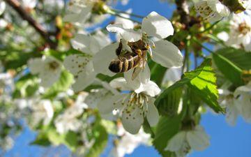 небо, природа, дерево, цветение, насекомое, весна, вишня, растение, пчела
