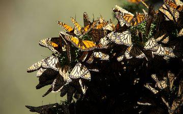 природа, крылья, насекомые, бабочки