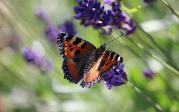 природа, цветение, насекомое, цветок, лето, бабочка, крылья, растение, нектар