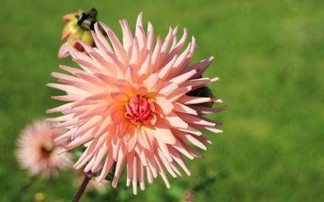 цветы, цветение, лепестки, розовые, георгины