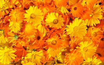 цветы, цветение, лето, лепестки, растение, желтые, оранжевые, календула, ноготки