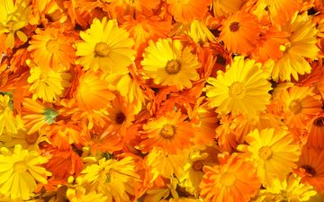 flowers, flowering, summer, petals, plant, yellow, orange, calendula, marigolds