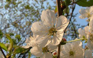 небо, цветы, природа, дерево, цветение, ветки, лепестки, весна, вишня, крупным планом