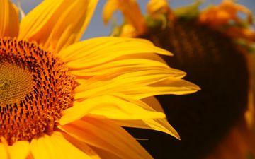 желтый, цветок, лепестки, подсолнух, крупным планом