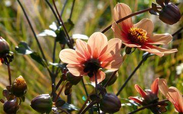 цветы, природа, цветение, оранжевые, георгин, георгины