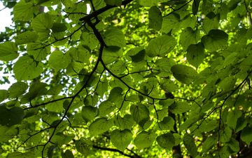 nature, tree, greens, leaves, branches, foliage