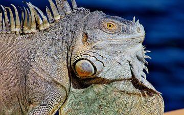 ящерица, профиль, животное, рептилия, игуана, крупным планом