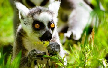 глаза, природа, растения, мордочка, лемур, примат, кошачий лемур, катта