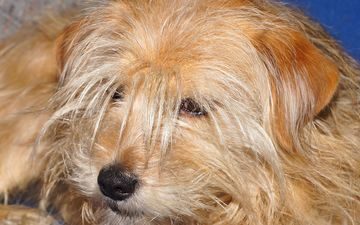 eyes, muzzle, look, dog, each, terrier, shaggy