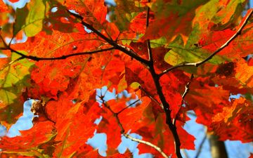 nature, tree, leaves, branches, autumn, sheet, maple