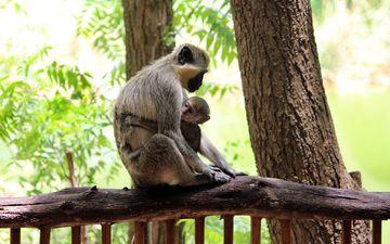 природа, дерево, листья, мама, зоопарк, детеныш, обезьянки, обезьяны, мартышка