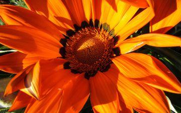 природа, макро, цветок, лепестки, оранжевый, венидиум