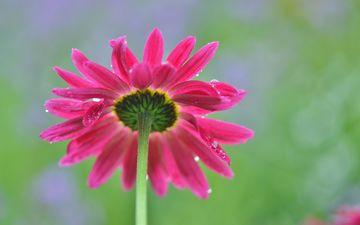 природа, макро, цветок, капли, лепестки, стебель, боке, маргаритка
