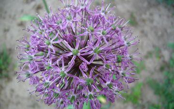 background, flower, inflorescence, decorative bow, allium