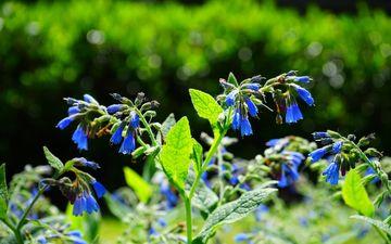цветы, трава, природа, луг, растение, синие, колокольчики, окопник
