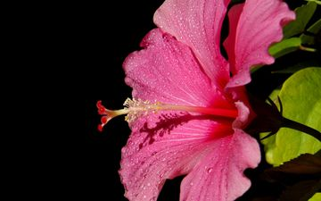 цветок, роса, капли, лепестки, черный фон, гибискус, китайская роза