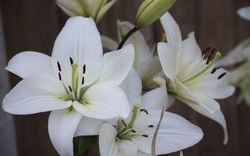 цветы, лепестки, белые, лилии, крупным планом