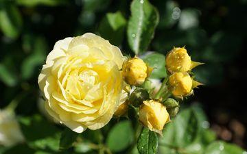 flowers, buds, leaves, drops, roses, petals, yellow, bokeh