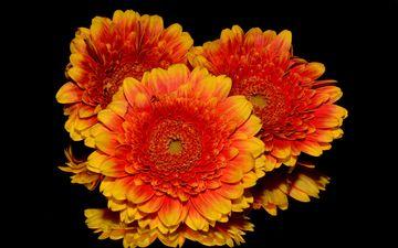 цветы, лепестки, черный фон, герберы