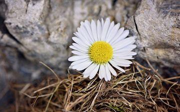 природа, цветок, лепестки, ромашка, камень
