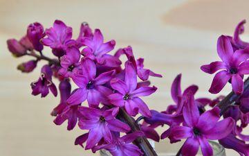 цветок, лепестки, весна, гиацинт