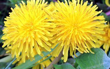 flowers, nature, leaves, petals, spring, plant, dandelions, yellow