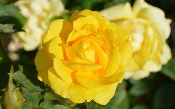 flowers, roses, petals, bud, yellow