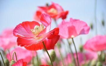 цветы, бутоны, лепестки, маки, стебли