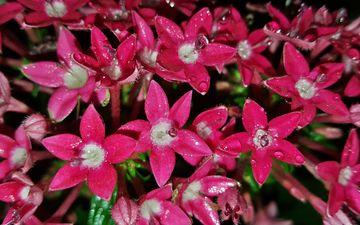 цветы, роса, капли, лепестки, красные, пентас