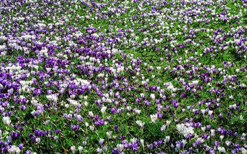 цветы, трава, поляна, весна, крокусы