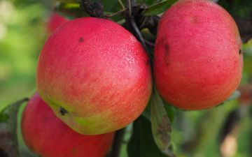 fruit, apples, vitamins
